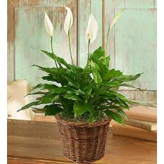 Spathiphyllum plante pour la sympathie