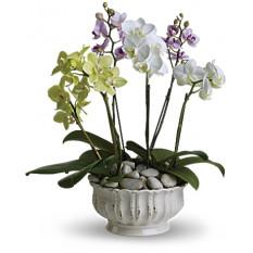 Orchidées royales