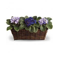 Trio de violettes douces