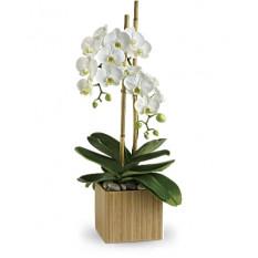 Opulent Orchidées