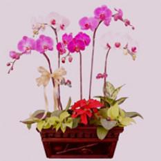 Cinq orchidées phalaenopsis