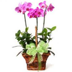3 orchidées phalaenopsis
