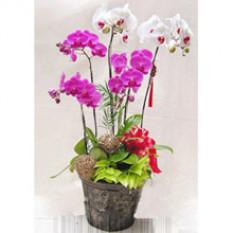 Phalaenopsis Orchidées B