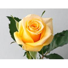 Rose de juin: Solare (Small)