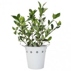 Magnifique Gardenia