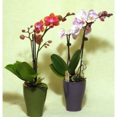 Orchidées, mini orchidées…