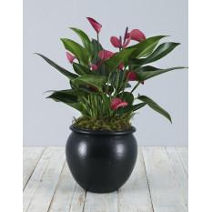 Anthurium rose en poterie noire