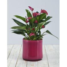Anthurium rose dans un vase cylindrique rose