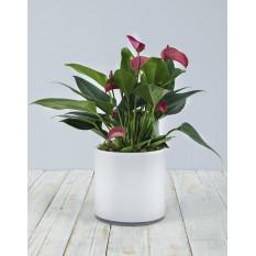 Anthurium rose dans un vase cylindrique blanc