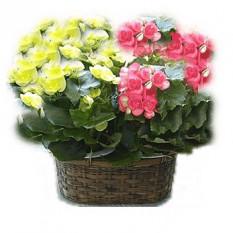Begonia bis (Petit)