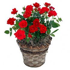 Buisson rouge (petit)